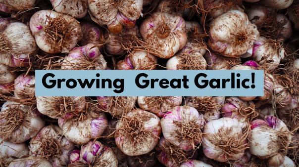 growing great garlic headline